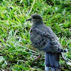 Mourning Dove (immature)