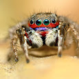 Jumping Spiders Of India
