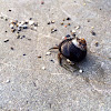 Blue-banded Hermit Crab