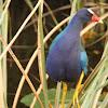 American Purple Gallinule (Porphyrio martinica)