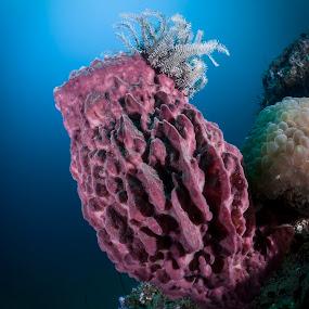 sponge by Catalin Ienci - Landscapes Underwater ( sponge, reef, underwater, sea, ocean )