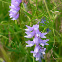 vetch of some kind?