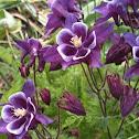 Purple Columbine