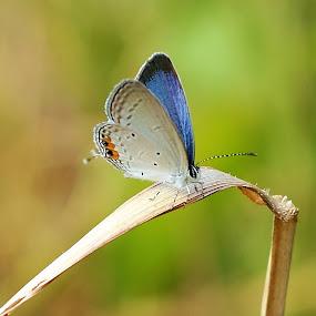 Kupu-kupu indigo by Azay Boyan - Animals Insects & Spiders