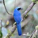 Turquoise Jay