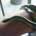 "Culebra verde de vientre rojo - ""jaeger's Ground snake"""