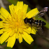 Large Predacious Hoverfly