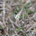 White Milkwort