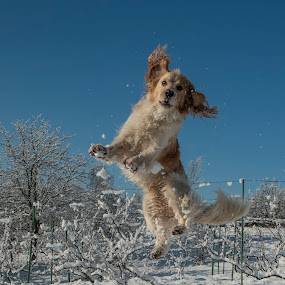 by Dubravka Krickic - Animals - Dogs Playing ( winter, snow )
