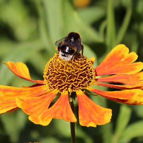 Bee sitting on a echinacea flower by Birgit Vorfelder - Animals Insects & Spiders ( echinacea, orange flower, pollen, bee, insect, blossom, flower, petal,  )