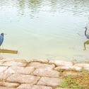 Little Blue Heron & Tricolored Heron