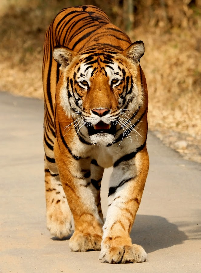 by S Balaji - Animals Lions, Tigers & Big Cats ( s.balaji, animals, nature, style, tiger, bannerghatta national park )