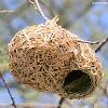 Weaver birds, nests