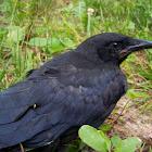 American Crow- Juvenile