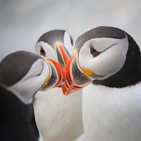 Can I have a kiss too ? by Liza Chevres - Animals Birds ( puffins,  )