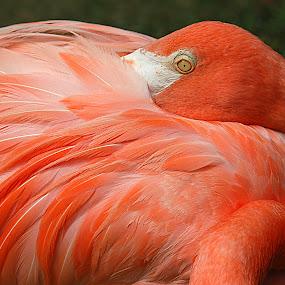 nap time by Charmaine Albury - Animals Birds