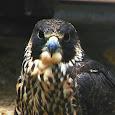 Birds of Prey of NYC