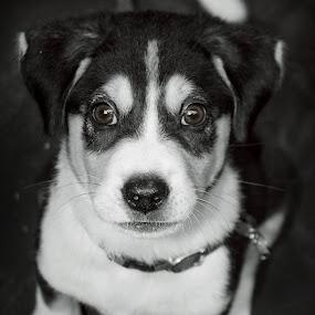 momo by Benaya Agung - Animals - Dogs Portraits ( potrait, pet, angry, puppy, dog, animal )