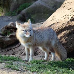 Alert desert fox by Birgit Vorfelder - Animals Other Mammals ( fox, alert, blue eyes, desert fox, rocks, paying attention, animal,  )