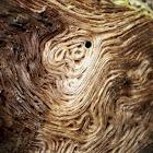 Oak (deadwood)