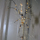 Coastal Golden Orb Spider