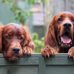 Over the garden fence by Ken Jarvis - Animals - Dogs Portraits