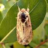 Noctuid Moth.