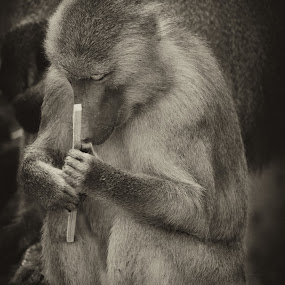 meditation   by Boutheina Ferid - Animals Other Mammals ( monkey, animal )
