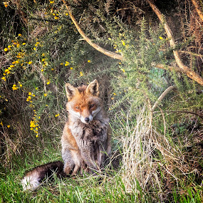 The Fox by Jose Rabina - Animals Lions, Tigers & Big Cats ( wild, nature, conservation, wildlife, animal )