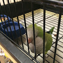 Quaker Parrot (Monk Parakeet)