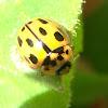 Ladybird 14 puntos Mariquita