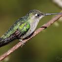 Magnificent Hummingbird (Colibrí, gorrión, colibrí magnífico). Fem.