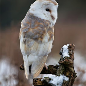 Barn Owl at Barn Owl Centre in February. by Marlene Finlayson - Animals Birds