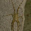 lichen (huntsman) spider