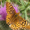 Native Butterflies of the SF Bay Area