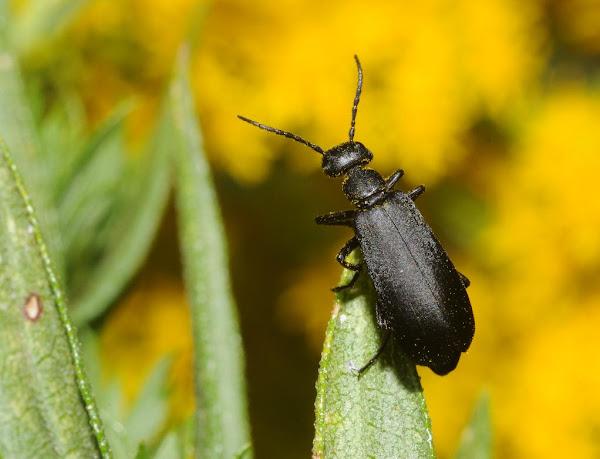 Blister beetle | Project Noah