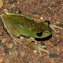 Red-webbed treefrog