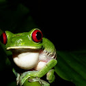 Ruby-eye Tree Frog