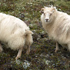 Icelandic sheep (Iceland)