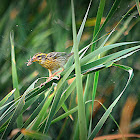 Streaked Weaver  Ploceus manyar