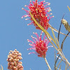 Red Grevillea (Γκρεβιλλέα)