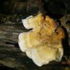 Leaf Fungus sp.