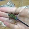 Common Green Darner Dragonfly
