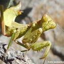 European dwarf mantis