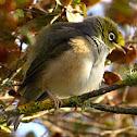 Silver-eye Tauhou