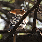Hoopoe - Bird