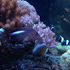 Arc eye hawkfish 眼鏡鷹魚
