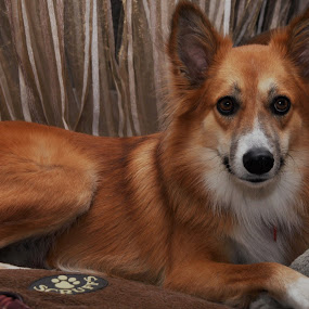 Rosie by Carmel Bation - Animals - Dogs Portraits ( canine, dogs, ginger, pet, dog portrait )