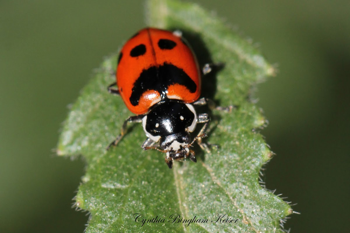 Five-spotted Lady Beetle