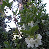native white rhododendron